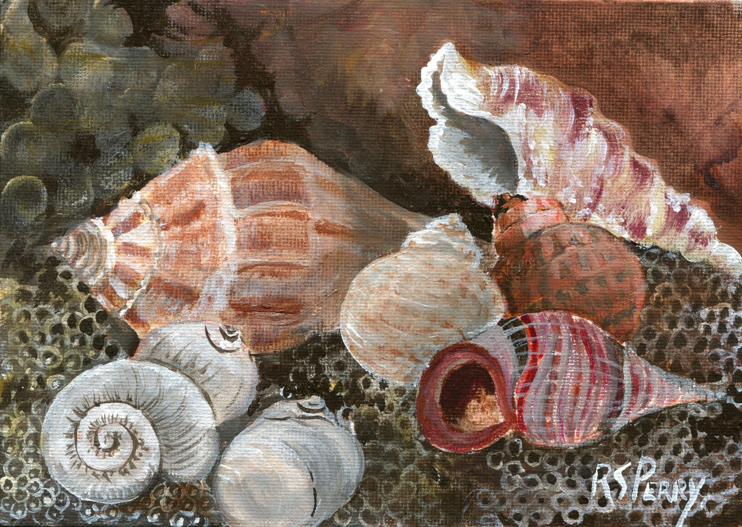 Knobbed Whelk, Cerith Snail, Moon Snails, Lewis Moon Snail, Colorful Atlantic Moon, Common Periwinkle internet